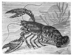 copper engraving, lobster - stock illustration