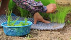 Farmer use hand pluck small rice sprout for plant in farmland Stock Footage
