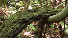 Amazon  jungle moss on limb  Stock Footage