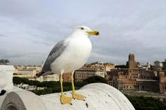 Caspian gull (larus cachinnans), above the rooftops of rome, italy, europe Kuvituskuvat