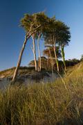 windblown beech trees in the evening light, darsser forest, west beach, fisch - stock photo