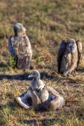 Stock Photo of white-backed vultures (gyps africanus), masai mara national reserve, kenya, e