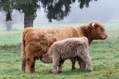 Stock Photo of scottish highland cattle (bos primigenius f. taurus) suckling calf, allgaeu,