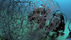 Scuba divers looking for pygmy seahorses on gorgonian fan coral Stock Footage