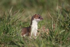 Ermine, short-tailed weasel (mustela erminea), with summer coat, sitting on a Stock Photos
