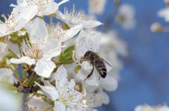 honey bee (apis mellifera) collecting pollen, ukraine, eastern europe - stock photo