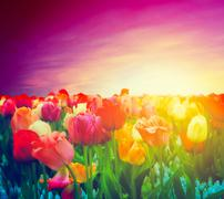 Tulip flowers field, sunset sky. artistic mood Stock Photos