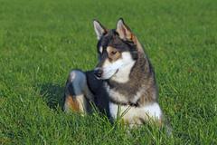Young siberian husky dog (canis lupus familiaris) male, portrait, domestic do Stock Photos
