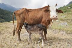 domestic cattle (bos primigenius taurus), cow suckling her calf, near punakha - stock photo