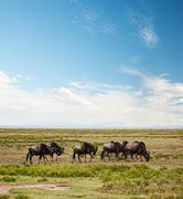 Gnuu, gnu on afrikkalainen savanni Kuvituskuvat