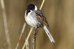reed bunting (emberiza schoeniclus), male on a reed, lauwersmeer national par - stock photo
