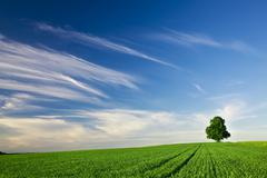 solitary tree in the middle of a field, near mittelbiberach, baden-wuerttembe - stock photo