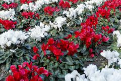 cyclamen (cyclamen cilicium) in white and red lines in a flower bed - stock photo