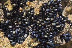 blue mussels (mytilus edulis), algarve, portugal, europe - stock photo