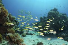 yellowfin goatfish (mulloidichthys vanicolensis), red sea, egypt, africa - stock photo