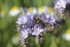 Honey been (apis sp.) in search of food, purple flower, phacelia, scorpionwee Stock Photos