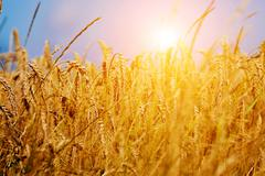 Sunny wheat field close-up. agriculture background, golden sunset Stock Photos