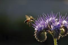 Bee (apis sp.), on a purple flower, phacelia, scorpionweed or heliotrope (pha Stock Photos