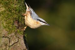 Nuthatch (sitta europaea), mature bird sitting on the mossy branch of an oak  Stock Photos