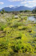 silted bog pond with flowering hare's-tail cottongrass, tussock cottongrass o - stock photo