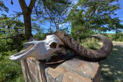 Stock Photo of skull of an african buffalo (syncerus caffer), masai mara national reserve, k