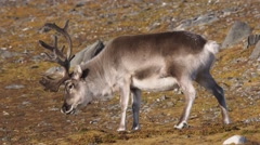 Wild Arctic reindeer in natural habitat - stock footage
