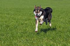 Running young siberian husky dog (canis lupus familiaris) male, domestic dog Kuvituskuvat