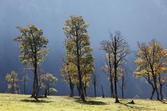 autumnal trees, sycamore maple (acer pseudoplatanus), grosser ahornboden, pas - stock photo