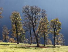 Stock Photo of autumnal trees, sycamore maple (acer pseudoplatanus), grosser ahornboden, pas