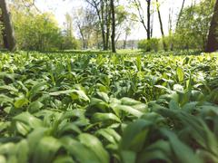 Stock Photo of ramsons or wild garlic (allium ursinum)