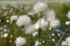 hare's-tail cottongrass, tussock cottongrass or sheathed cottonsedge (eriopho - stock photo