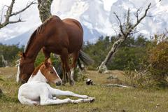a mare and a foal on a green meadow in front of the cuernos del paine granite - stock photo