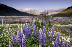 lupins (lupinus), at arthur's pass, south island, new zealand, oceania - stock photo