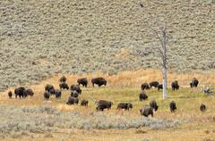 herd of bison, american bison (bison bison), lamar valley, yellowstone nation - stock photo