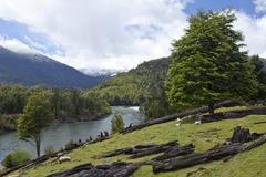 sheep grazing on the banks of the rio palena river, carretera austral, ruta c - stock photo