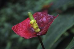 Flamingo flower or boy flower (anthurium), mainau island, baden-wuerttemberg, Stock Photos