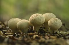 Common, warted or gem-studded puffball or devil's snuff-box ((lycoperdon perl Stock Photos