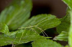 Stick insect (phasmatodea, syn. phasmida), tandayapa region, andean cloud for Stock Photos