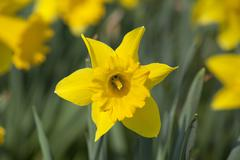 Stock Photo of daffodils (narcissus pseudonarcissus)