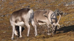 Arctic reindeers in natural habitat Stock Footage