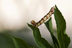 Mottled umber (erannis defoliaria), caterpillar Stock Photos