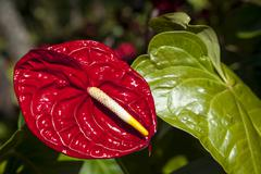 Flamingo flower (anthurium), northern thailand, thailand, asia Stock Photos