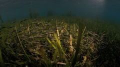 Striped eel catfish swimming in seagrass Stock Footage