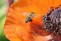 western honey bee (apis mellifera) collecting pollen, attaching pollen on its - stock photo