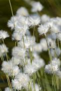 flowering hare's-tail cottongrass, tussock cottongrass or sheathed cottonsedg - stock photo