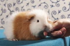 Swiss teddy guinea pig, pedigree guinea pig, being stroked Stock Photos