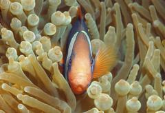 Cinnamon clownfish or fire clownfish (amphiprion melanopus), redang island, m Stock Photos