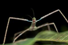stick insect (phasmida), front view, tandayapa region, andean cloud forest, e - stock photo