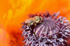 western honey bee (apis mellifera) collecting pollen on a red flower, orienta - stock photo