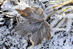 Stock Photo of autumn leaves with hoarfrost, frost